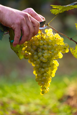 grape vines: Close up of Workers Hands Cutting White Grapes from vines during wine harvest in Italian Vineyard. Beautiful sunlight. Stock Photo
