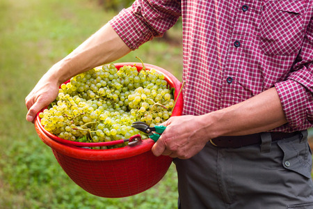 Close up of Workers Hands Holding Red Bucket filled with Collected White Grapes from Vines during Wine Harvest in Vineyard. Stock Photo