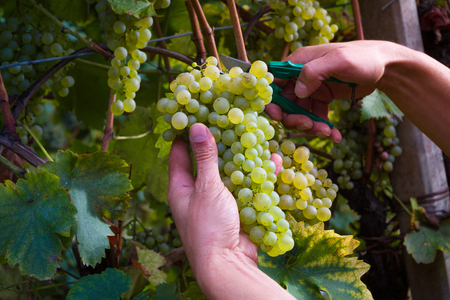 Close up of Workers Hands Cutting White Grapes from vines during wine harvest in Vineyard.