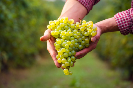 Farmers hand with cluster of white grapes; farming and wine-making concept; Italian Grape Harvest; Prosecco Wine Stock Photo