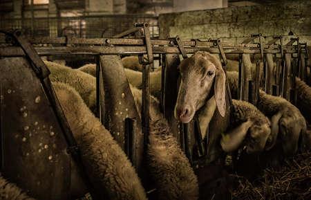 lactation: Feeding sheep in a farm.