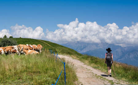girl or woman hiking in mountain with cow along the path - adventure concept