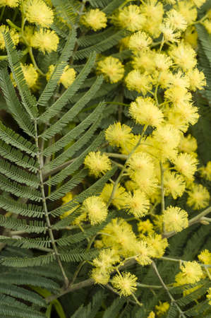 Flowers of wattle plant, Acacia dealbata Stock Photo - 18055304