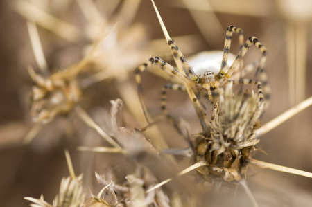 A spider camouflaged among thorns