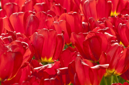 Colorful tulip flowers in Spring photo