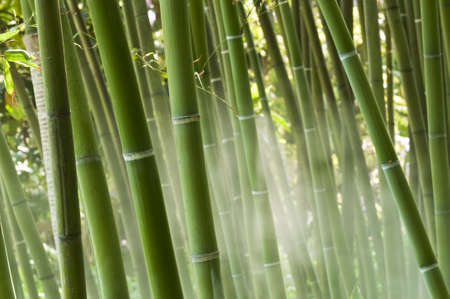 Closeup of a green bamboo forest in the mist Stock Photo - 18191183