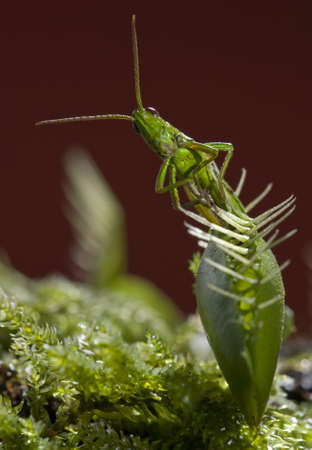 grasshopper caught by insectivorous Venus fly trap