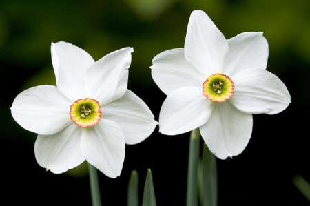 White Narcissus flowers of the European mountains