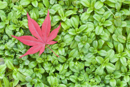 Red leaf of Maple on green grass Stock Photo - 18191816