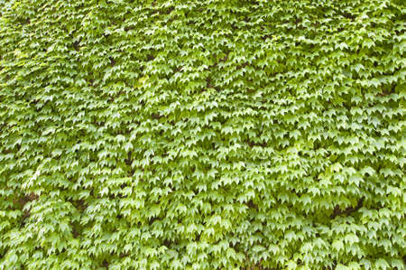 A wall of ivy