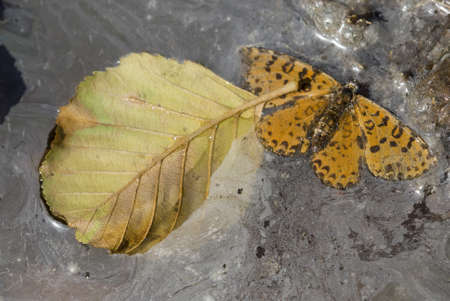 Dead leaf and butterfly in polluted water paddle Stock Photo - 18191802
