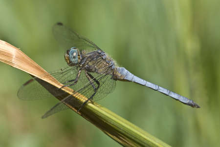 Male dragonfly of Orthetrum coerulescens (Keeled Skimmer) Stock Photo - 18191772