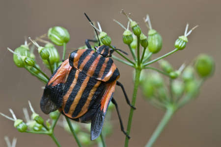 graphosoma: Black and red shield bug with wings out (Graphosoma italicum)  Stock Photo