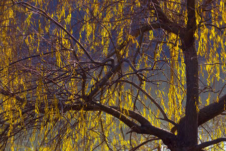 salix:  (Salix babylonica) weeping willow in backlight Stock Photo