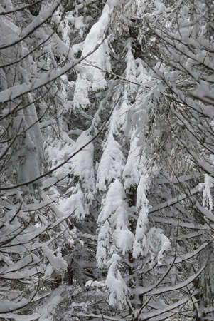 picea:  Norway spruce (Picea excelsa) covered with snow Stock Photo