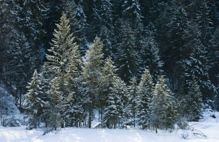 Beautiful winter wood of Red Spruce in Europe with snow Stock Photo - 18191814