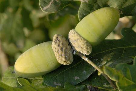 quercus: Acorns of Peduncolate Oak, Quercus robur