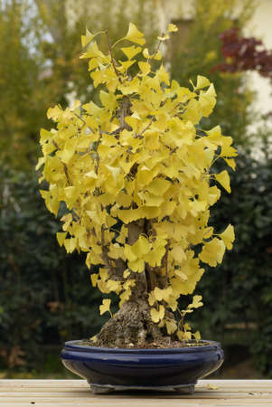 Ginko tree bonsai in autumn photo