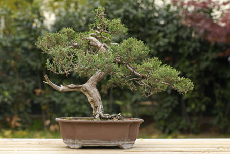 Pine tree bonsai photo