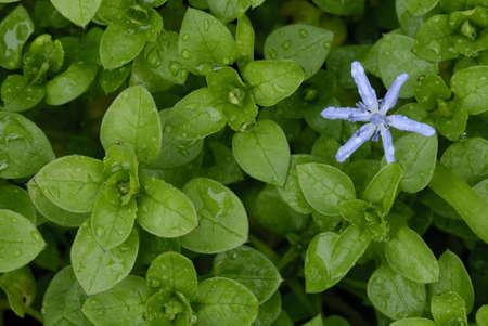 chickweed: Flower of  Scilla  Scilla bifolia  among leaves of chickweed  Stellaria media   Stock Photo