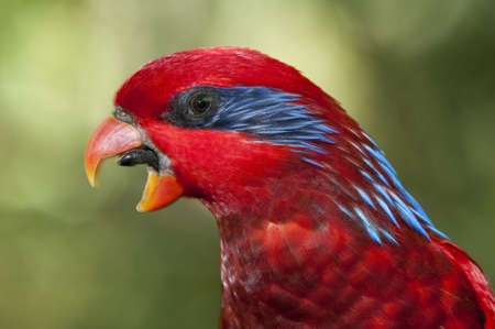 Red and blue parrot, Eos reticulata Stock Photo - 18225089