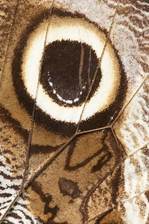 mimetism: Eye spot on butterfly wing Stock Photo