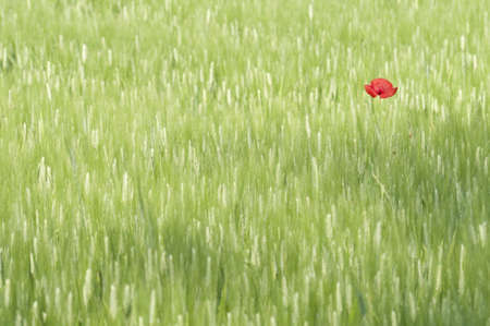 Isolated Poppy flower in a green, wheat field photo