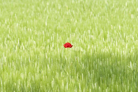 Isolated Poppy flower in a green, wheat field Stock Photo