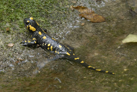mimetism:  Fire Salamander hiding on ground Salamandra salamandra