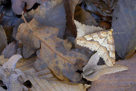 mimetism: Mimetic moth among dead leaves  Stock Photo