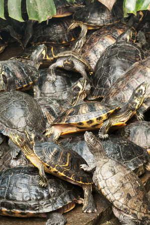 Basking group of red-eared, turtles Stock Photo - 18229276
