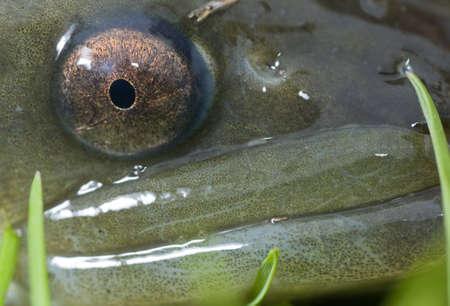 Closeup of a head of a European eel Stock Photo - 18229161