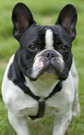 Frontal portrait of a black and white dog