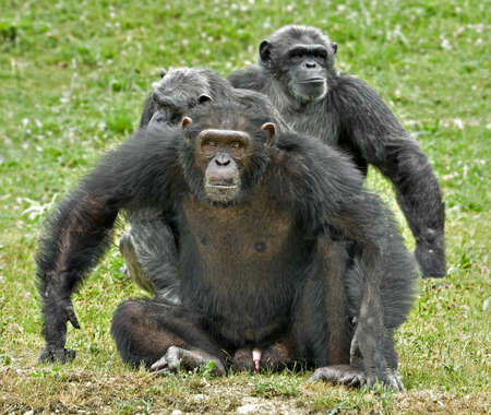A family of chimpanzees with dominant male in defence posture