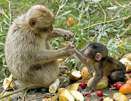 A mother monkey giving food to baby Stock Photo