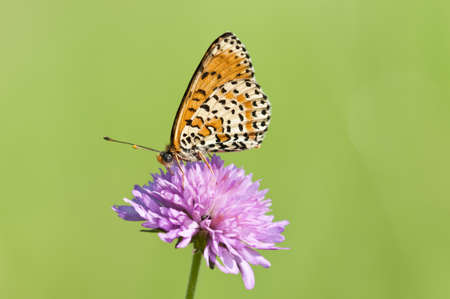Melitaea butterfly on purple flower and green background photo