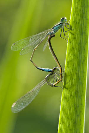 mating colors: Mating of damselflies  Platycnemis  on a blade of grass Stock Photo