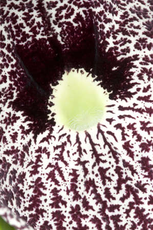 Closeup of a Aristolochia flower, birthworts, pipevines, Dutchman's pipes Stock Photo - 18304893
