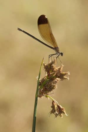 damselfly: Female of the damselfly Calopteryx haemorrhoidalis Stock Photo