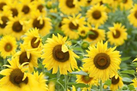 helianthus annuus: Sunflowers in full bloom in summer