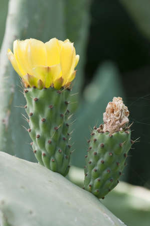 Prickly pear yellow flower of Opuntia ficusindica photo