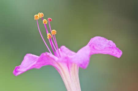 Closeup of the four-oclock flower, Mirabilis jalapa