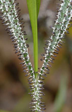 parasitic: Parasitic mushrooms growing on blades of grass
