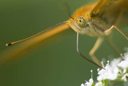 proboscis: Silver-washed fritillary butterfly, Argynnis paphia, detail of head and proboscis Stock Photo