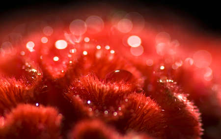 Celosia red flower with dew drops Stock Photo - 18357565