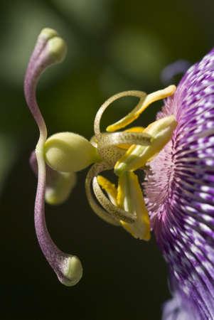 pistils: Passion flower detail of pistils and stamen, Passiflora