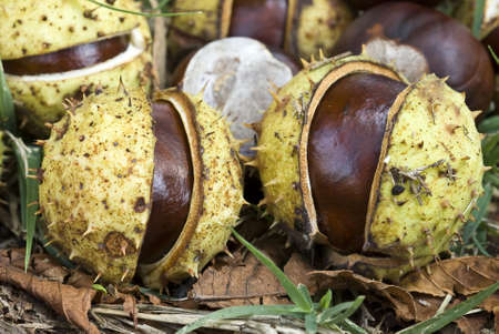 conker: Aesculus hippocastanum nuts,  horse-chestnut or conker tree nuts faallen on ground