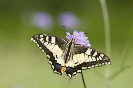 scarce: A Scarce Swallowtail (Iphiclides podalirius) butterfly on a purple meadow flower Stock Photo
