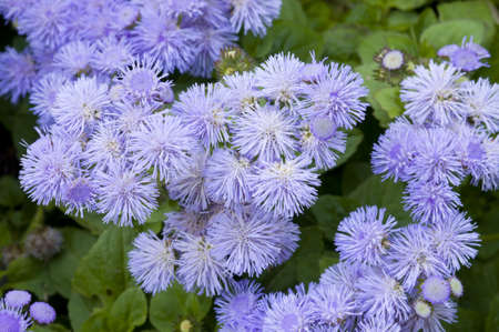 Close/up of a bed of Ageratum blue flowers Stock Photo - 18396516