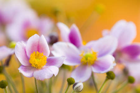 Colorful bed of pink flowers in orange background Stock Photo